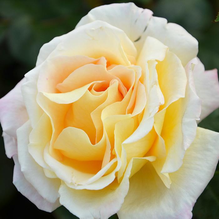 香りのバラ アルページュ ばら 6号 大苗 ピンク イエロー 色変わり ブッシュ 四季咲き いい香り たくさん咲く