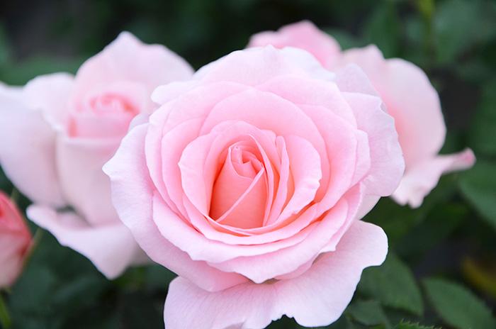 香りのバラ クオーレ ばら 6号 大苗 ピンク ブッシュ 四季咲き いい香り たくさん咲く 剣弁高芯咲き