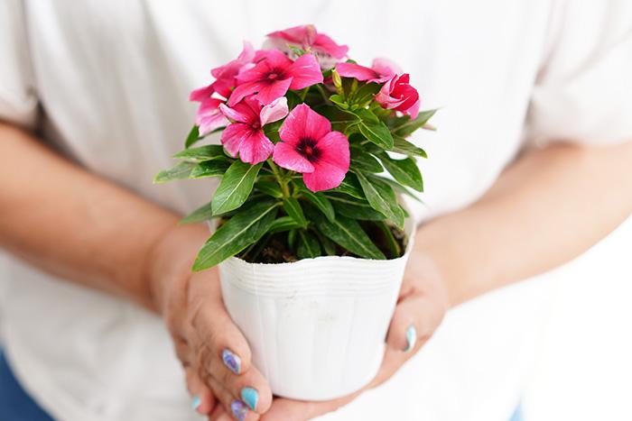 【送料無料】 日々草 (ニチニチソウ) タトゥー ラズベリー 3.5号ポット  苗 6苗セット 花苗 花壇向き 暑さに強い