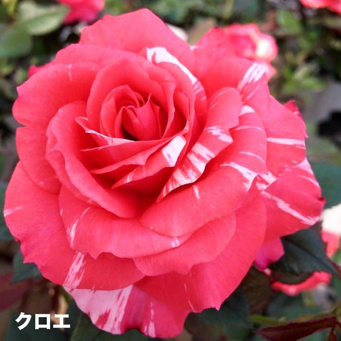 香りのバラ クロエ ばら 6号 大苗 オレンジ ブッシュ 四季咲き いい香り たくさん咲く 剣弁高芯咲き