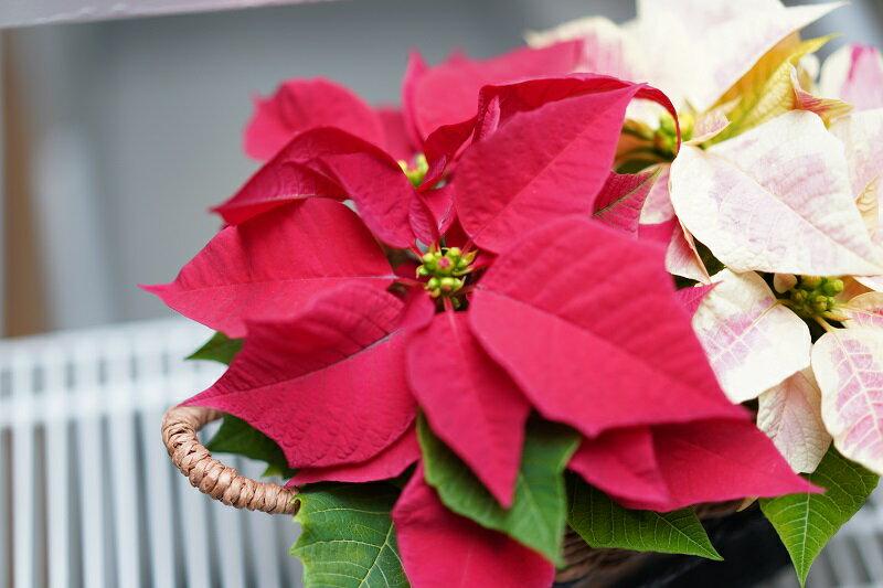 気軽に贈るポインセチア クリスマス ギフトバッグ仕様 カゴ入り娘 【代引き不可】【メッセージカード不可】