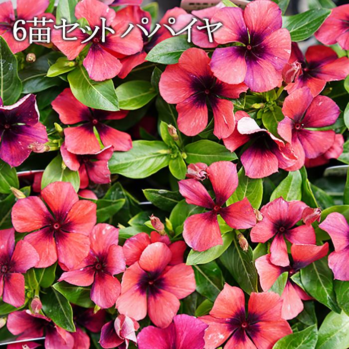 【送料無料】 日々草 (ニチニチソウ) タトゥー パパイヤ 3.5号ポット  苗 6苗セット 花苗 花壇向き 暑さに強い