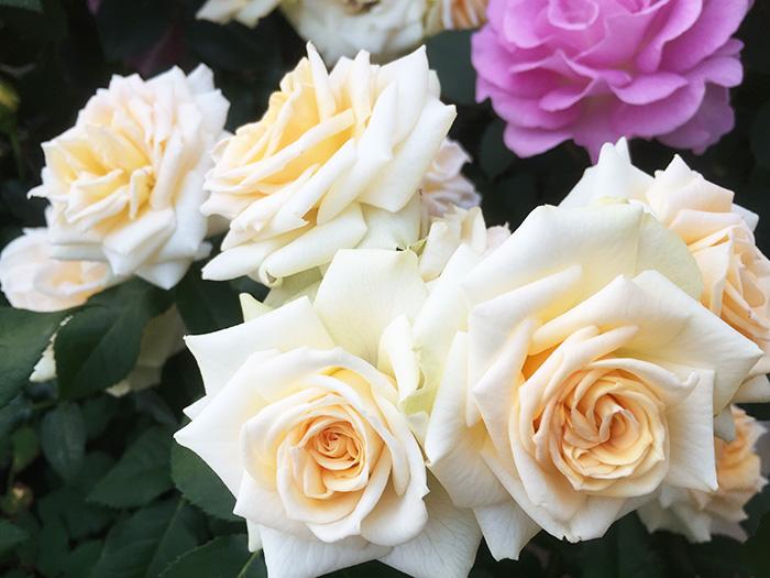 香りのバラ プリエール ばら 6号 大苗 ホワイト ティー香 ブッシュ 四季咲き いい香り 剣弁高芯咲き