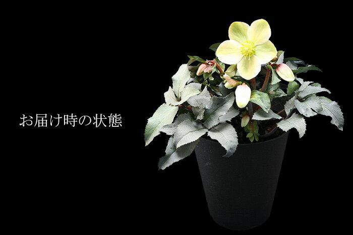 プレミアム クリスマスローズ モンテクリスト 4.5号鉢 色変わりとシルバーリーフが美しい!!