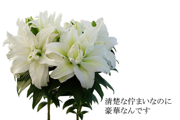 【産地直送】大輪のバラ咲きユリ「白雪姫 ローズリリー」大きめ6号鉢でお届けします! カサブランカ 2021母の日高級ギフト