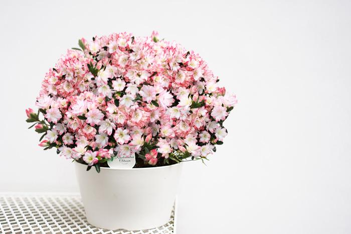 【送料無料】ツツジの鉢植え レジーナ 9号大鉢 レジナ 早咲きつつじが豪華に咲き誇る!【他商品との同梱不可】 【ラッピング・メッセージカード不可】