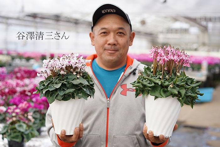 【送料無料・数量限定】シクラメン天使の羽 5号  お歳暮