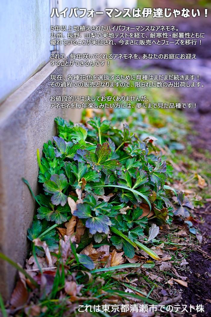 【送料無料】次世代ハイパフォーマンス!ガーデンアネモネ パブニナ 3.5寸ロングポット 北海道の極寒から東京の高温多湿猛暑にも耐える新品種! しっかり株!根の張りが違う!