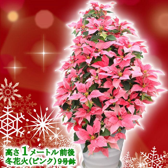 【送料無料】お歳暮やギフトにも!本物のポインセチアで仕立てたクリスマスツリー 背丈1メートル 9号鉢植え 冬花火 ピンクのポインセチア 大鉢 プリンセチア【育て方(管理マニュアル)クリスマスカード付・ラッピングなし】【ヤマト便出荷】