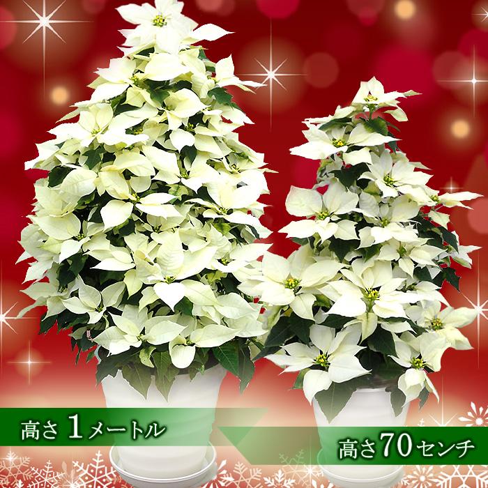 【送料無料】お歳暮やギフトにも!本物のポインセチアで仕立てたクリスマスツリー 背丈70センチ 7号鉢植え フルムーンホワイト 白いポインセチア 大鉢 プリンセチア【育て方(管理マニュアル)クリスマスカード付・ラッピングなし】