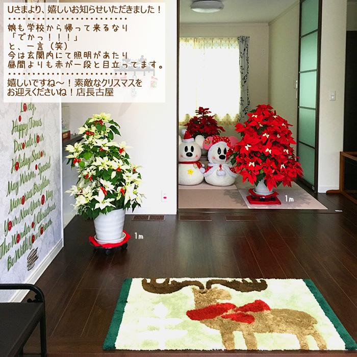 【送料無料】お歳暮やギフトにも!本物のポインセチアで仕立てたクリスマスツリー 背丈70センチ 7号鉢植え ハートンレッド 赤いポインセチア 大鉢 プリンセチア【育て方(管理マニュアル)クリスマスカード付・ラッピングなし】