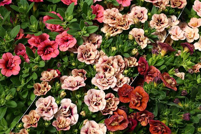 【6苗セット】全12色 八重咲きカリブラコア アンティークシリーズ 3.5寸 6苗セット【代引不可】【ラッピング・メッセージカード不可】