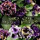 超〜激レアパンジー ドラキュラ 花いろMIX 3.5号苗×6個セット アンティークパンジー