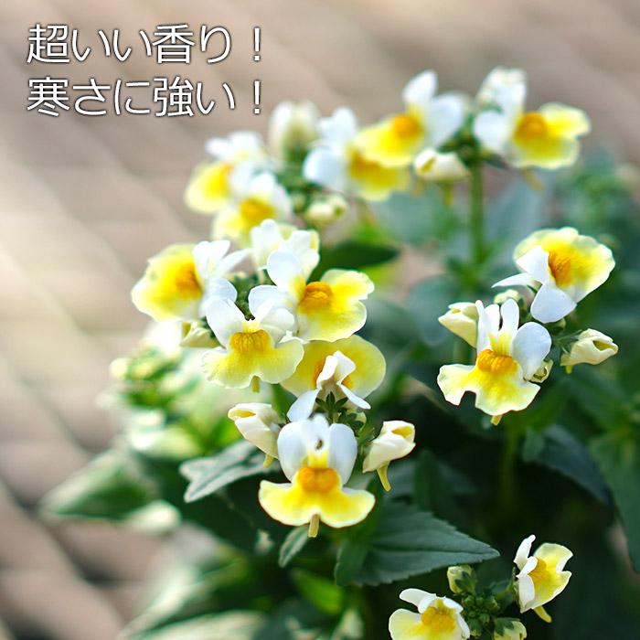 香るネメシア レモンスカッシュ 3.5寸 6苗セット【ラッピング・メッセージカード不可】
