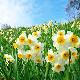 小型便送料【1月咲き】秋植え球根 15センチ球×5球セット 日本水仙/寒咲き 大球 まだ寒い時期に咲き始める花です【初心者OK】