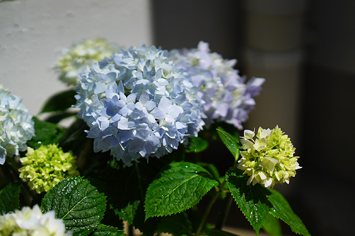 四季咲き!紫陽花 エンドレスサマー 5号鉢 珍しい日向むきの紫陽花【ラッピング・メッセージカード不可】