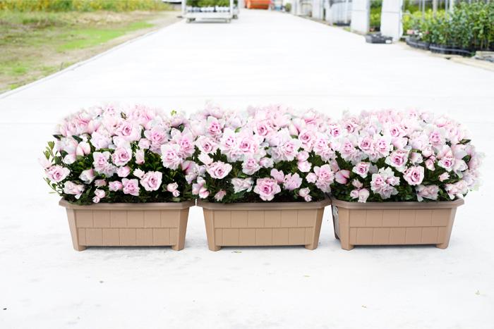 【送料無料】3個セット!イギリス庭園みたいに玄関ポーチに飾るためのフォトジェニックな小輪ツツジのプランター植え!横幅約33センチのプランター3個セットです【他商品との同梱不可】
