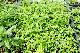 【12苗セット】鼻スッキリ!花粉症ハーブ! レモンバーベナ 3.5号苗×12個セット【ラッピング・メッセージカード・代引き不可】