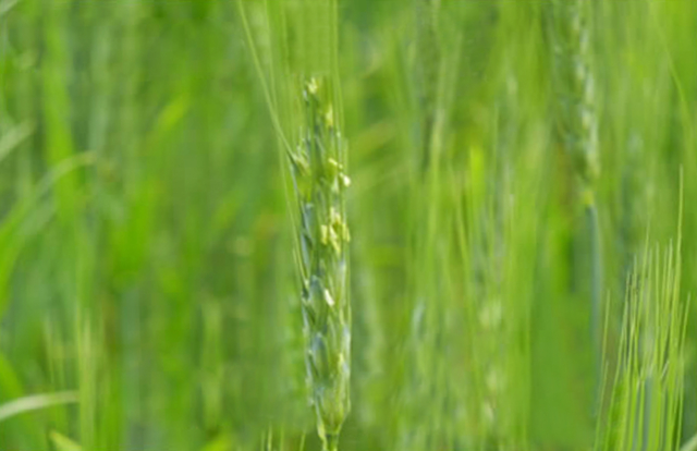 北海道産 無農薬無肥料栽培 小麦 中力粉 ホクシン