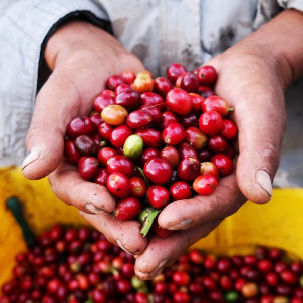 オーガニックコーヒー豆 エチオピア産 500g