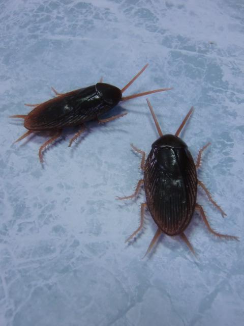 イタズラグッズ・ゴムのゴキブリ