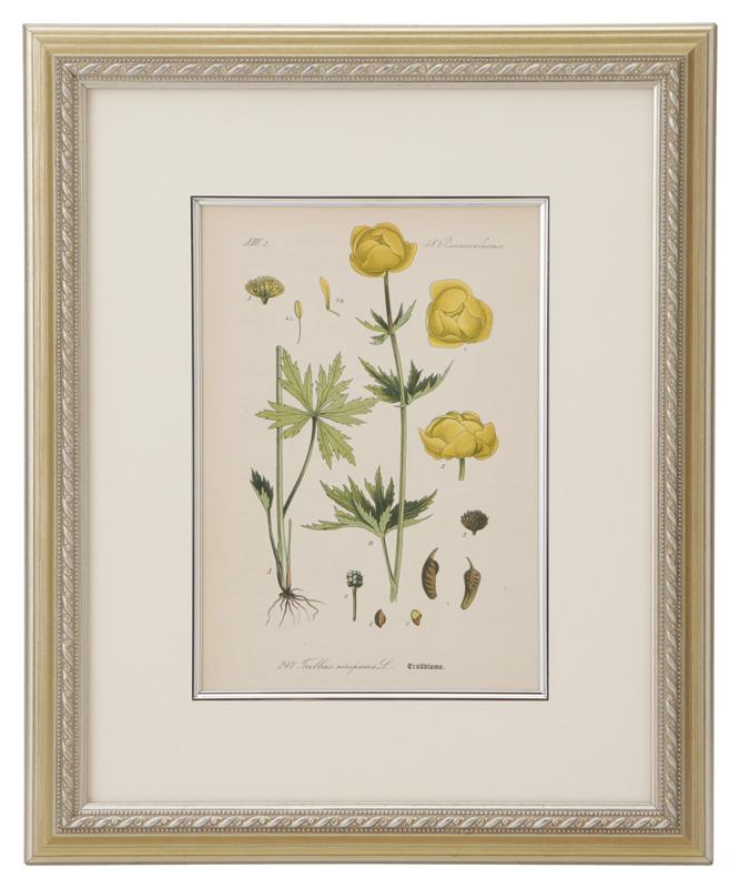 トーメ「ドイツ・オーストリア・スイスの植物」原本 No.247 セイヨウキンバイソウ(西洋金梅草)