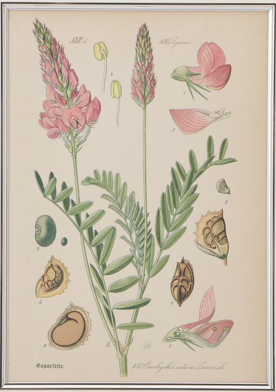 トーメ「ドイツ・オーストリア・スイスの植物」原本 No.447 オノブリキス・サティバ・ラマルク