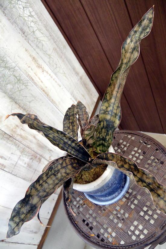 サンスベリア・キルキープルクラ・カッパートーン希少種【現品お届け】(クレーパポット青)