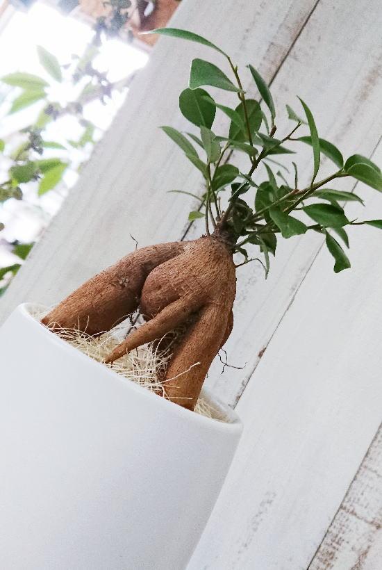 幸せを呼ぶ木『ガジュマル』