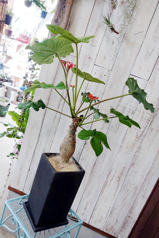 サンゴアブラギリ(ヤトロファ)
