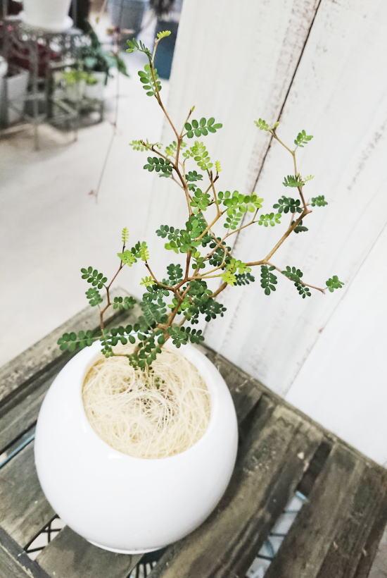 ミニミニ葉っぱとジグザグ幹が可愛い『ソフォラ・ミクロフィラ』