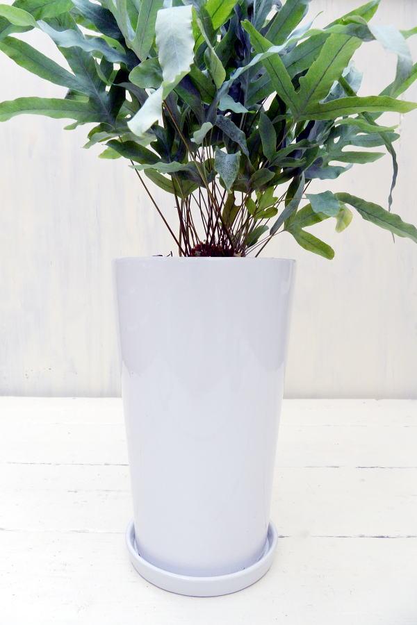 フレボディウム・オーレウム・ブルースター 希少種