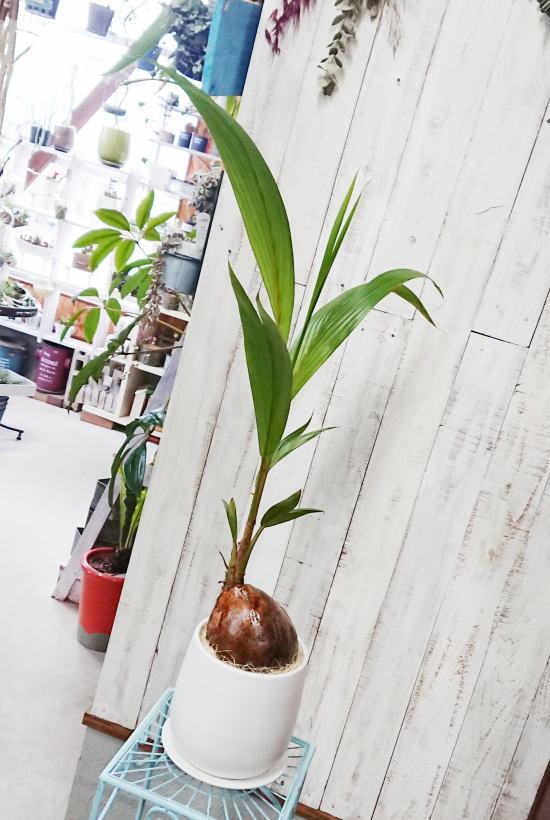 ココナッツの実が可愛いヤシの木「ココヤシ」