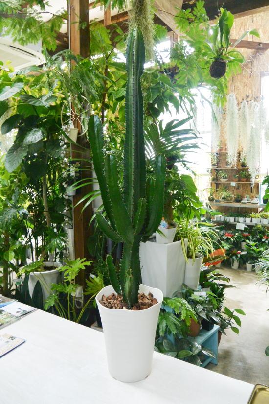 ダイウンカク(大雲閣) 多肉植物ユーフォルビア