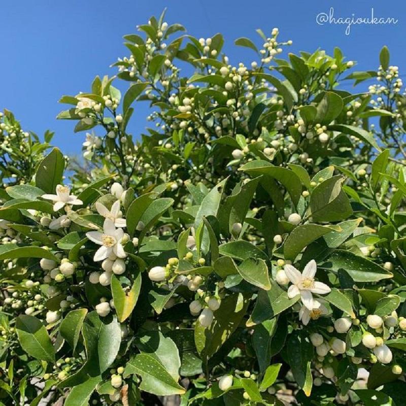 萩かおり風景の湯 萩城下町夏みかんの花