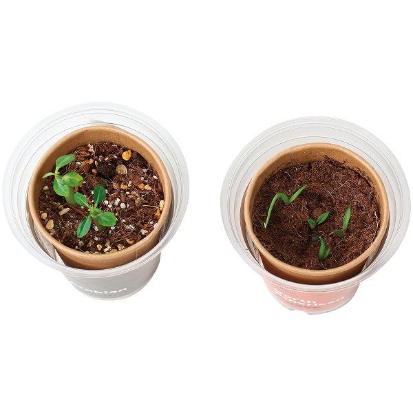 世界の植物栽培セット アガベ(ロット:8)