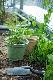 おうちで採れたて! 栽培キット スイートバジル(ロット:6)