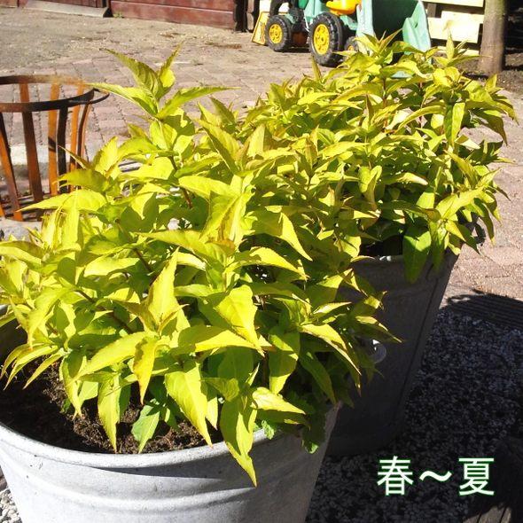 [紅葉が楽しめる夏の蜜源植物!]ディエルヴィラ ハニービー ※お届けに10日程度かかる場合がございます。