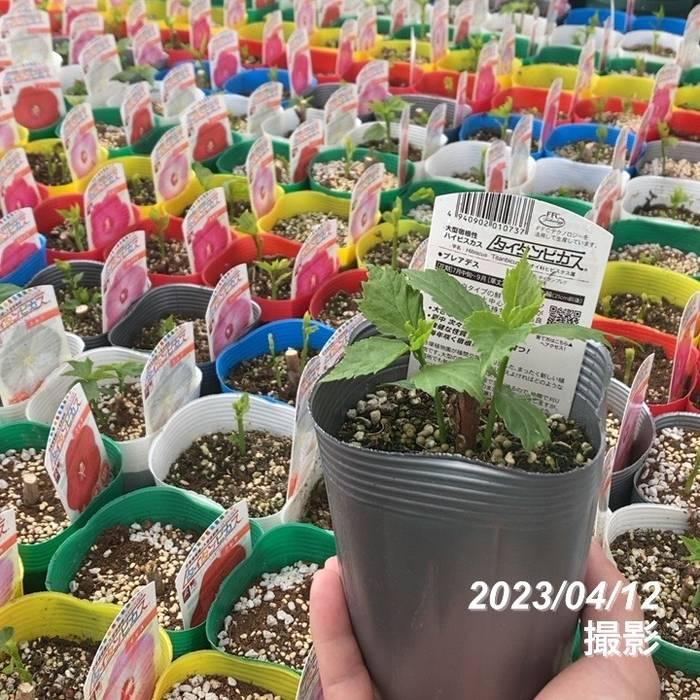 花の音限定販売 タイタンビカス ヘルメス苗 3.5号 ※8月2日以降出荷