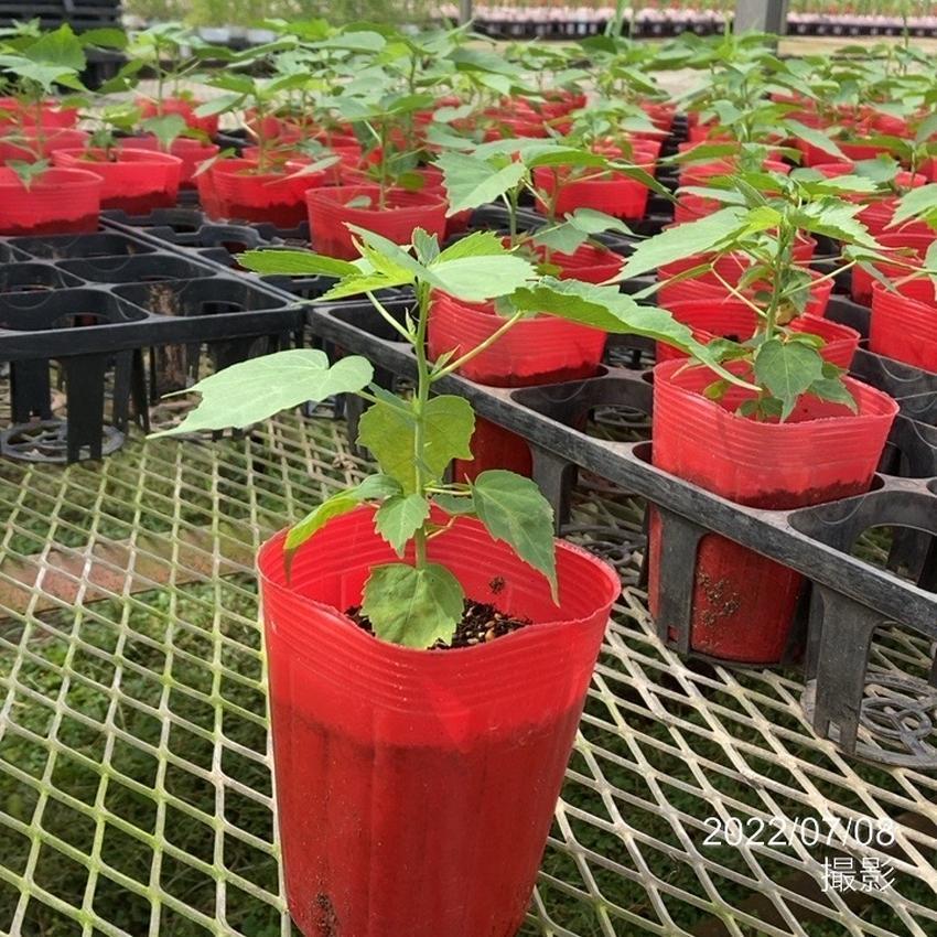 花の音限定販売 タイタンビカスキッズ ピーターパン苗 3.5号