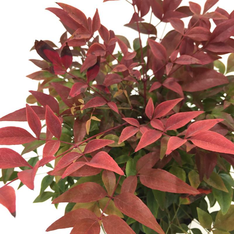 紅葉を楽しむ! コンパクトナンテン4色小苗セット 3〜3.5号苗 ※お届けに10日程度いただくことがございます。 [SJ]