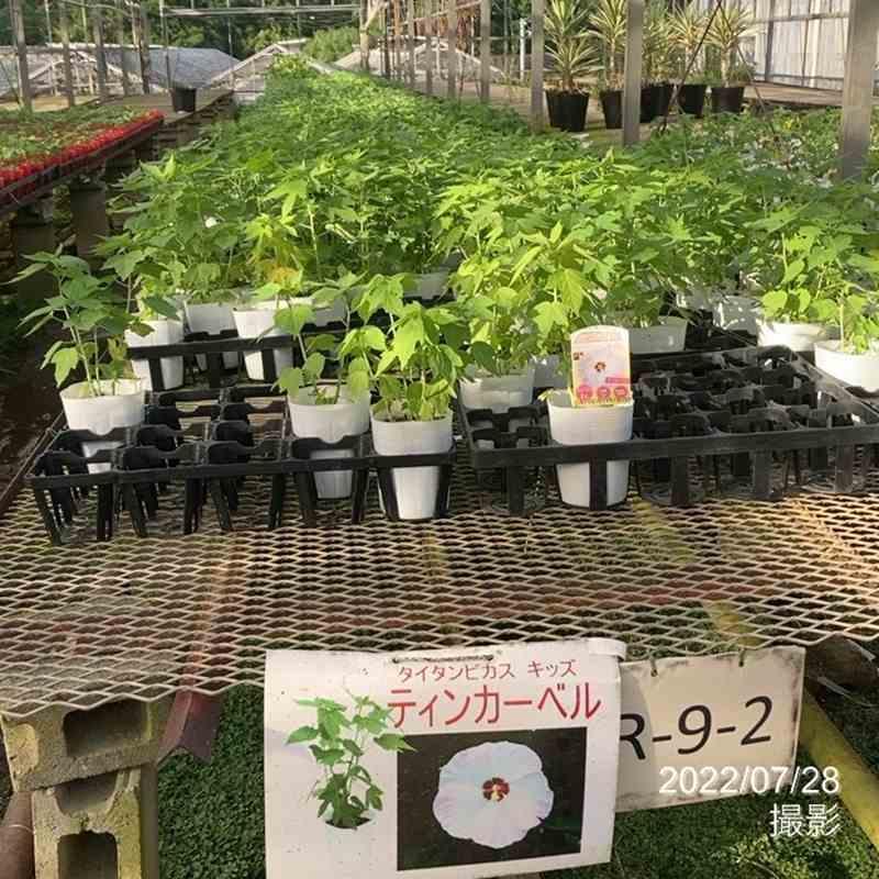 花の音限定販売 タイタンビカスキッズ ティンカーベル苗 3.5号 ※8月2日以降出荷