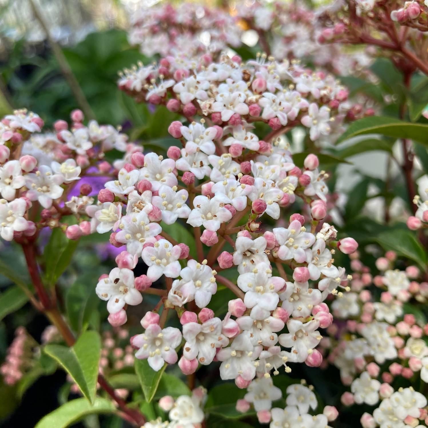 春・秋に咲いて白い花と青い実が美しい!ビバーナム ティヌス (常緑ガマズミ)5号苗 ※お届けに10日程度いただくことがございます。 [SJ]
