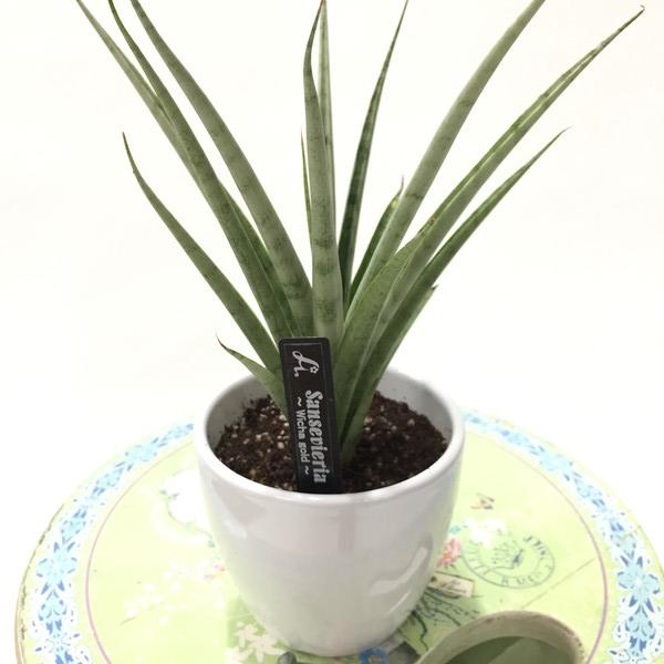 見たことないかも?珍しい サンスベリア Wicha gold 3.5号 白陶器鉢仕様