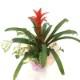 赤塚植物園の特選サマーギフト グズマニア寄せ植え(ゴット・アイビー)[TK] ※白カゴ ※7月中旬〜8月中旬お届け