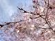 100年ぶりの新発見! 三重県産 クマノザクラ(熊野桜)苗 3.5-5号ポット苗 ※11月初旬お届け予定