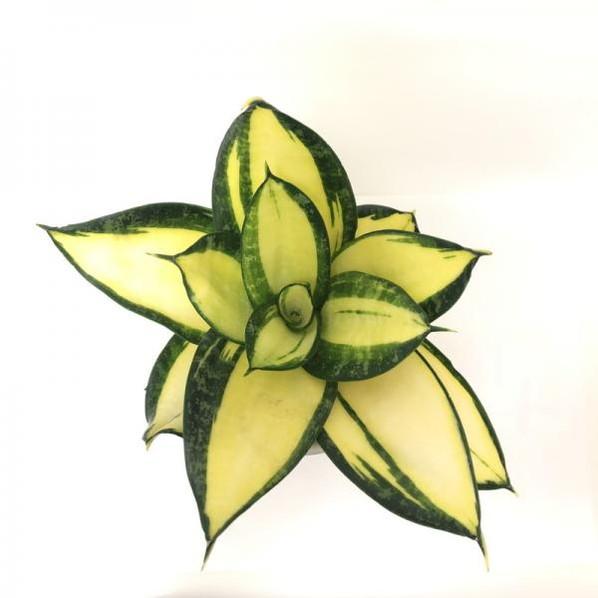 見たことないかも?珍しい サンスベリア ソリッドゴールドドワーフ 3号 白陶器鉢仕様