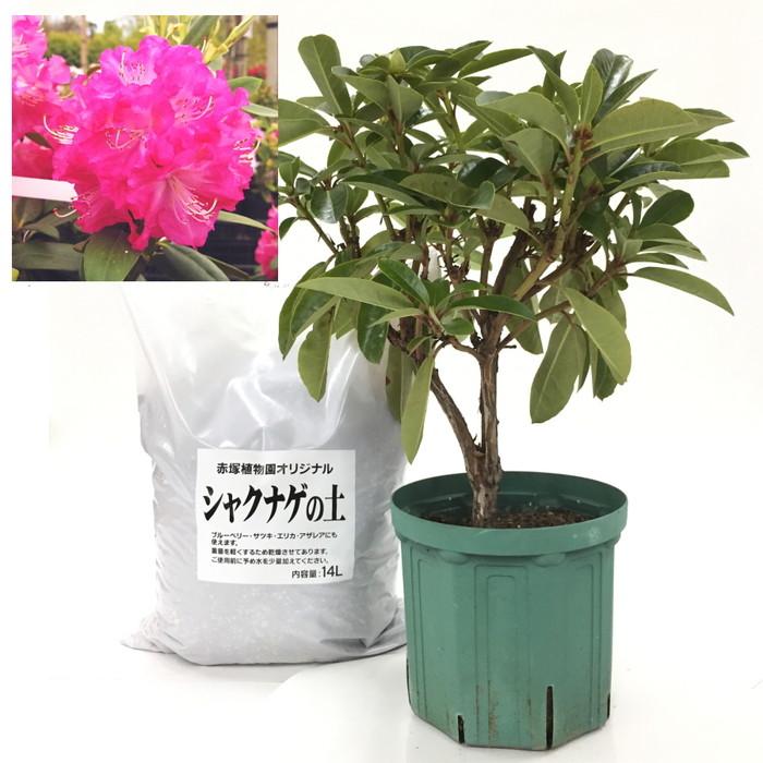 スーパーローディーを植えよう!シャクナゲ大株[濃いピンク系]+専用培養土セット