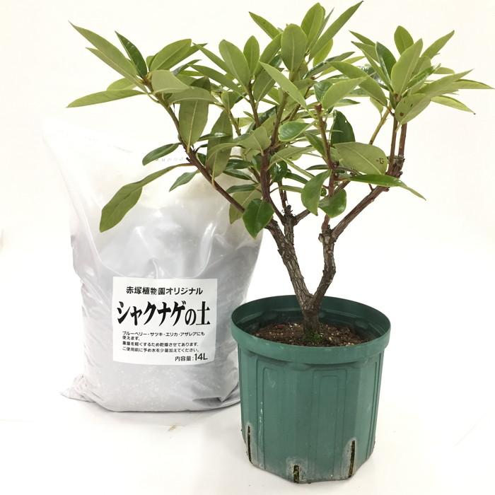スーパーローディーを植えよう!シャクナゲ大株[淡いピンク〜バイカラー系]+専用培養土セット