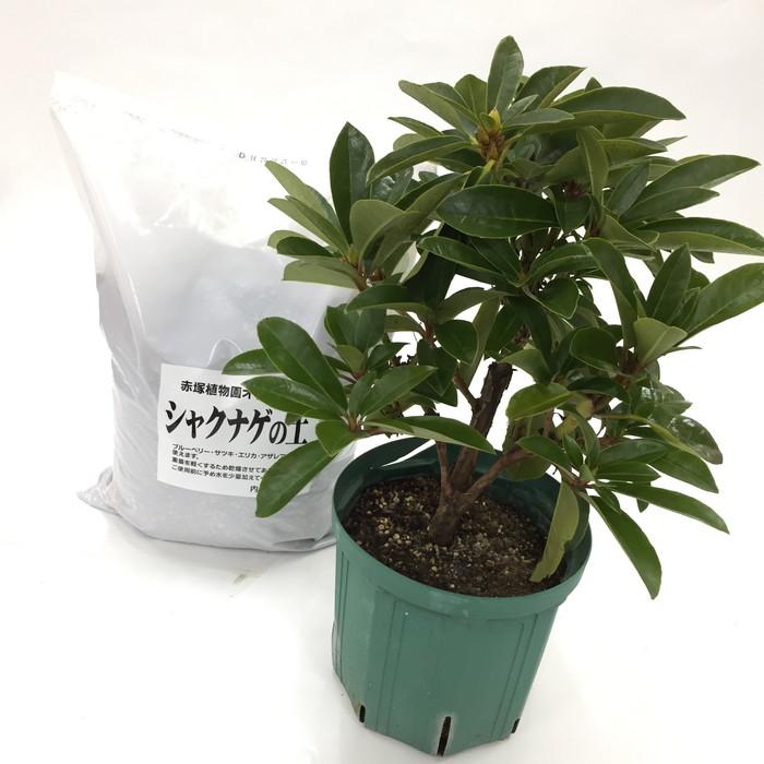 スーパーローディーを植えよう!シャクナゲ大株[白系]+専用培養土セット